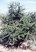 Acacia rigidula (Blackbrush Acacia) grown in a domestic setting