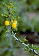 Close up of Acacia Bloom