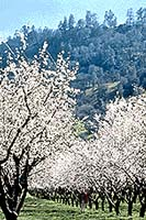 an Almond grove in bloom is stunning