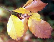 Fagus Sylvatica leaves changing color