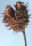 Seed capsule, open without the Beech-Nuts