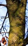 a close up of the bark of a young Beech-as the beech grows older it's bark turns silver-grey