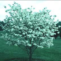 A Young Dogwood in Bloom