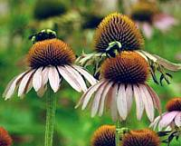 Echinacea Augustifolia in bloom is a Bee attractor