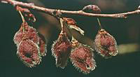 Elm Seeds are very nutritious