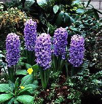 One color of Hyacinth