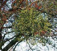 Mistletoe Infestation