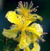 A Close Up of the Flower With Dew