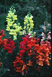 A Variety of Snapdragon Colors
