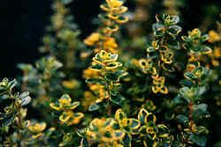 A Varigated Variety of Thyme