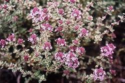 A Siver Variety of Thymus Vulgaris in Bloom