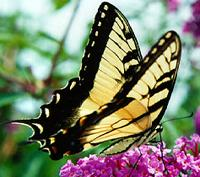 Lepidoptera: Tiger Swallowtail