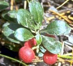 A Close Up of the Berries