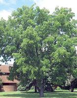 a Black Walnut