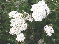 Yarrow with a 'visitor' Butterfly